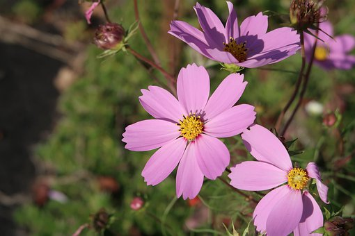 Natural, Flowers, Cosmos, Pink, Autumn