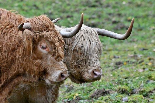 Bull, Cow, Scottish Highlander, Remote Access