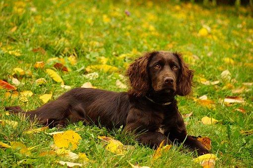 Quail Dog, Hunting Dog, Stoeberhund, Dog, Nature, Brown