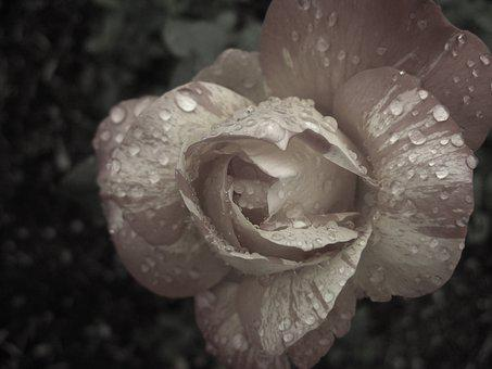 Black And White, Flower, Rose, Petals, Drops, Raindrops