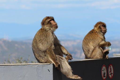 Monkeys, Gibraltar, Monkey, Animal, Nature, Primitive