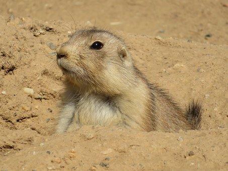 Prairie Dog, Animal, Nature, Rodent, Cute, Gophers, Zoo