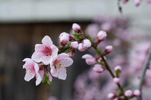 Nectarine, Flowers, Spring, Pink, Flower, Garden, Tree
