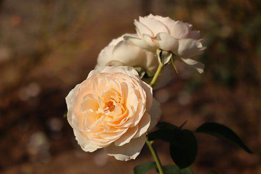 Flowers, Rose, Petal, Pink, Pale Orange
