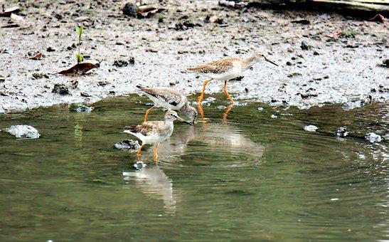 Red Shanks, Wild, Bird, Wildlife, Migratory, Seasonal