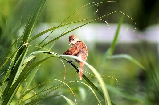 Brown Bird, Wild, Bird, Wildlife, Perch, Small, Brown