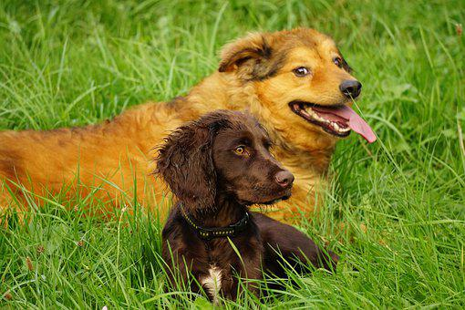 Dogs, West Woods Kuhhund, Quail Dog, Pet, Animal