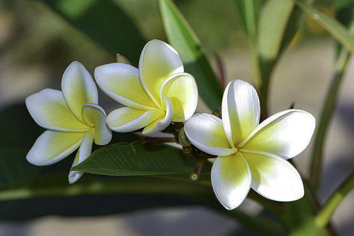 Three, Gentle, White, Creation, Just Flower, Poetical