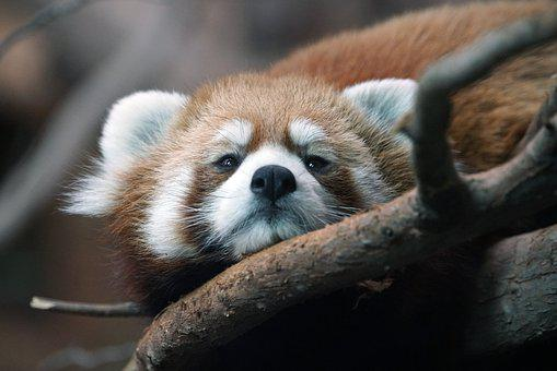 Red Panda, Panda, Animal, Mammal, Zoo, Cute