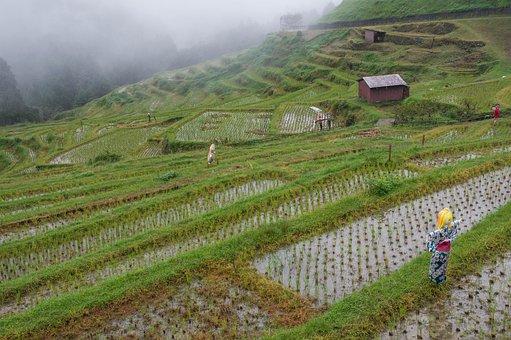 Japan, Rice, Culture, Terraces