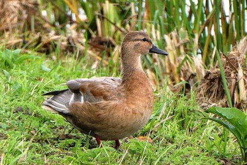 Duck, Female, Nature, Waterfowl, Bird, Fauna, Grass