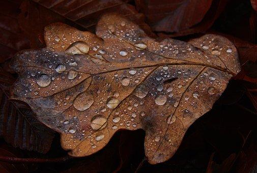 Oak Leaf, Dewdrop, Beaded, Wet, Drip, Veins, Leaf Veins