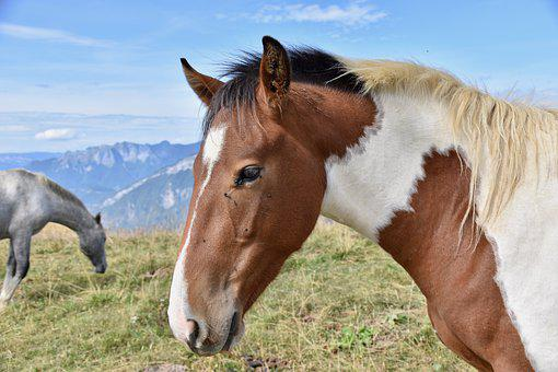 Horse, Horse Bai, Equine, Mane, Nostrils, Nature