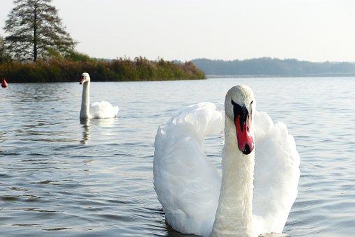 Mute Swan, Tom, Beach, Lake, Autumn, Animals, Nature