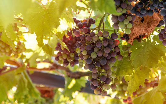 Bunch Of Grapes, Vines, Spray, Fruit, Group, Eating