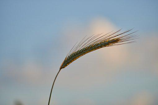 Cereals, Close Up, Macro, Grain, Field, Agriculture