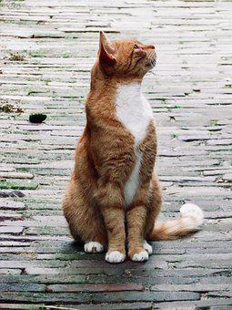 Cat, Roux, Pavers, Feline, Animal, Cute, Cats, Kitten