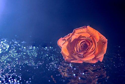 Rose, Blossom, Bloom, Drop Of Water, Bokeh, Wet, Drip