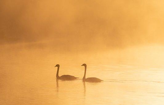 Swans On A Misty Lake, Mist, Sunrise, Riverbank