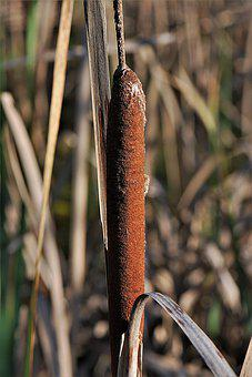 Cattail, Reed, Tube Piston Greenhouse, Plant