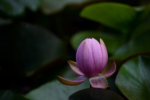 Water Lily, Nature, Pond, Flower, Pink, Bloom, Bud