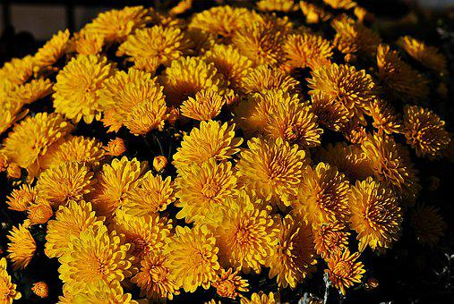 Yellow Chrysanthemums, Flowers, Autumn Flowers, Flora
