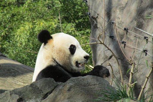 Panda, Bear, Animals, China, Mammal, Zoo, Cute, Bamboo