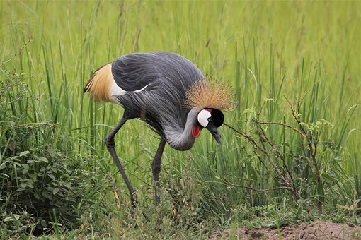 East, African, Crested, Crane, Grey, Crowned, Bird