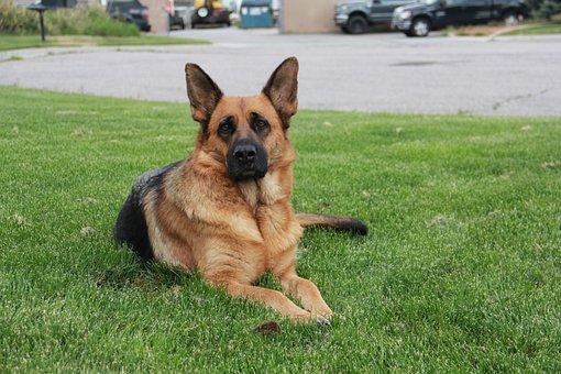 German Shepherd, German Shepherd Dog, Animal, Pet, Dog