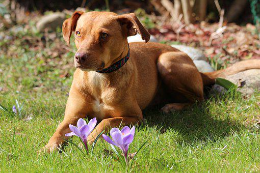 Easter, Dog, Crocus, Spring, Hybrid