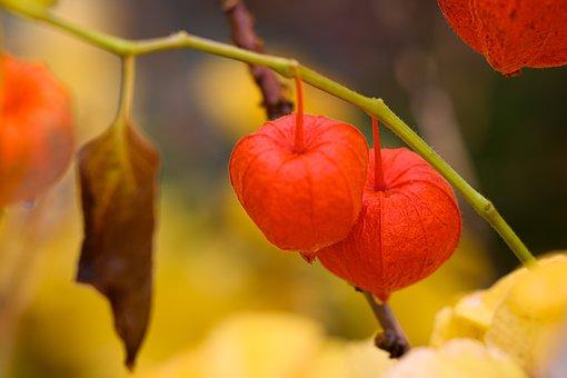 Autumn, Lampionblume, Orange, Close Up, Physalis
