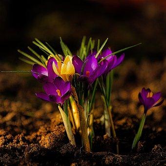 Flower, Crocus, Spring, Bloom, Nature, Plant, Purple