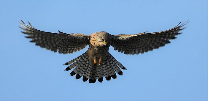 Kestrel, Bird, Bird Of Prey, Nature, Wings, Fly, Pray