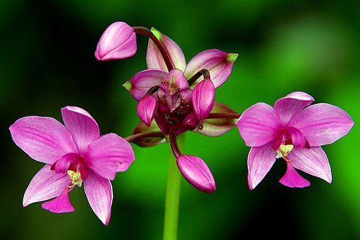 Orchids, Orchid Purple, Beautiful Flowers, Flower Buds
