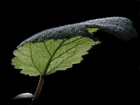 Sage, Leaf Structure, Clary Sage, Leaf, Herbs