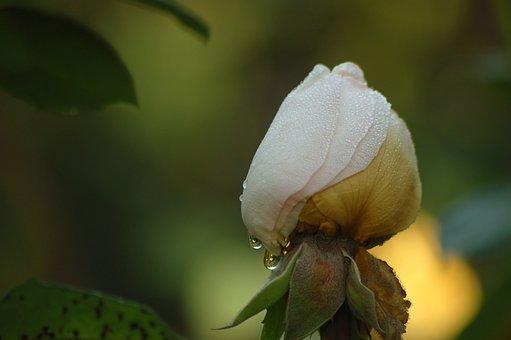 Bud, Flower, White, Rosa, Autumn, Drops, Lighting