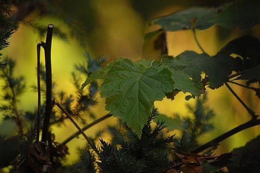 Leaves, Grapes, Loza, Light, Yellow, Green, Autumn
