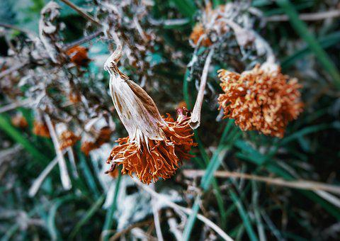 Marigold, Withered, Plant, Flower, Nature, Yellow