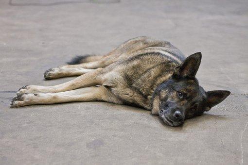 Dog, Husky, Shepherd, Mix, Lying, Chilling, Lazy Dog