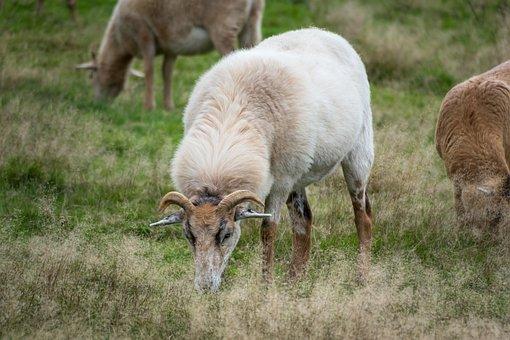 Sheep, Eat, Graze, Wool, Mammal, Fur, Pasture, Grass