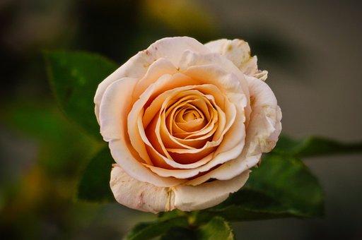 Rose, Petals, Pink, Peach, Nature, Spring, Color