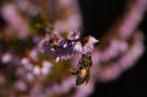 Bee, Heather, Plant, Nature, Flowers, Violet, Purple
