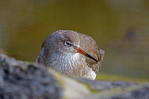 Redshank, Vis A Vis, Microdrile, Wader, North Sea