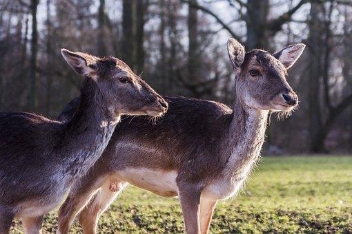 Deer, Deers, Wild Park, Wild Life, Düsseldorf