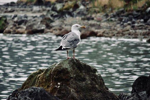 Seagull, Ocean, Waiting, Sea, Bird, Seagulls, Nature
