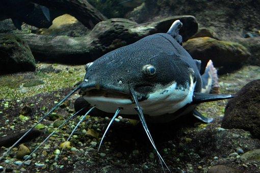 Cat Fish, Amphibious, Sea, Creature, Ocean, Underwater