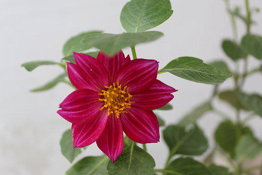 Dhalia Spp Dalia, Dahlia Striped, Plant, Bulbs, Flower