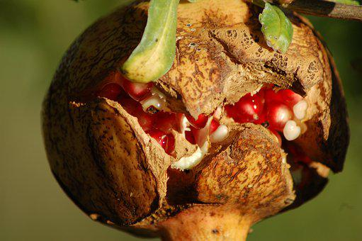 Pomegranate, Grains, Fruit, Vitamins, Autumn, Plant