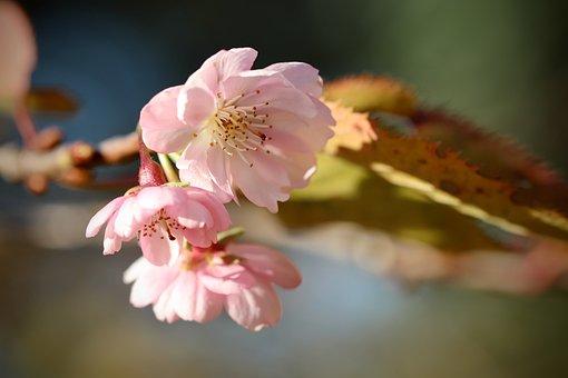 Winter Cherry, Snow Cherry, Flowering Twig