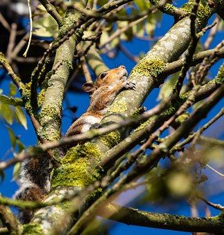 Squirrel, Tree Rat, Squirrel In Tree, Autumn